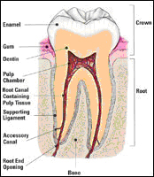 http://www.nashvillefirstimpressions.com/images/healthy_root_canal_.jpg